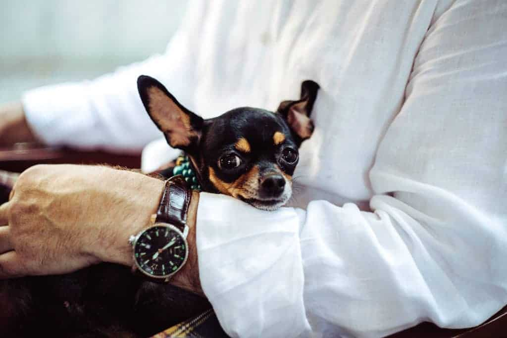 An elderly man in a white shirt holding a Chihuahua dog on his lap