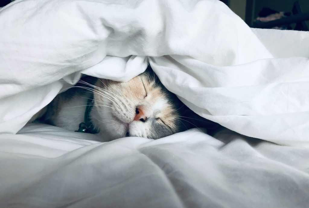 A cat lying in bed under a white duvet