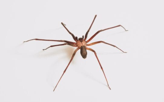 How to get rid of house spiders humanely