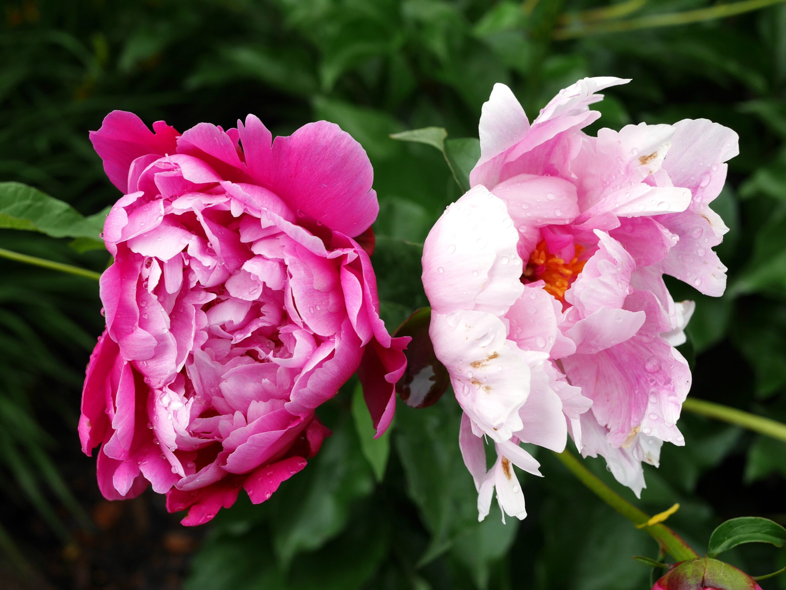 Pink peonies flowers with green leaves in a garden